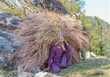 Carrying the grass in Kumaon mountains
